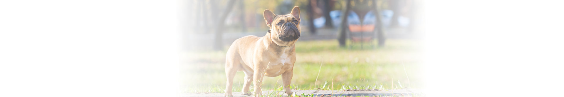 french bulldog in a park